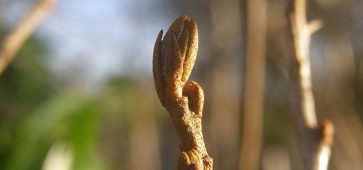 Of Bare Roots, Buds andBuckthorn